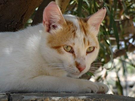 Animal, Cat, Cat Eyes, Cat Face, Cat Lying, Feline
