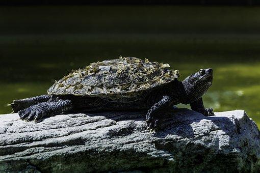 Turtle, Stone, Water, Animal, Panzer