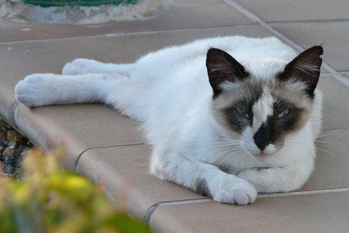 Cat, Lying, Attention, Pet, Peaceful, Hybrid, Dear