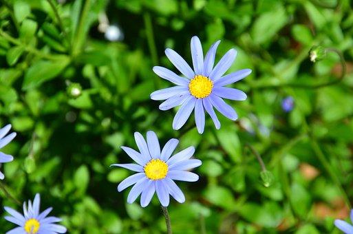 Blue Felicia Daisy, Flower, Blossom, Blooming, Plant