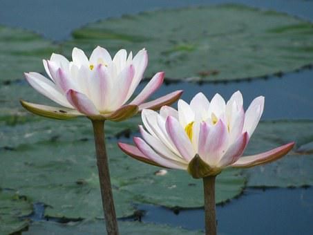 Water Lily, Flowers, Blossoms, Water, Lilies, White