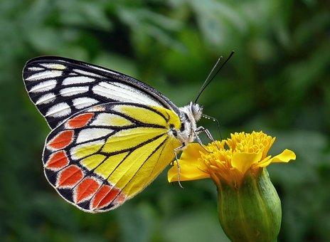 Butterfly, Tigist, Flower Bud, Yellow, Foliage, Decor