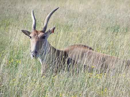 Common Eland, The Wilds, Antelope, Africa, Wildlife