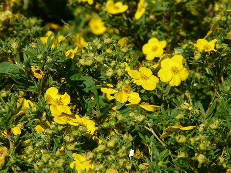 Finger Shrub, Bush, Dasiphora Fruticosa, Hedge, Flowers