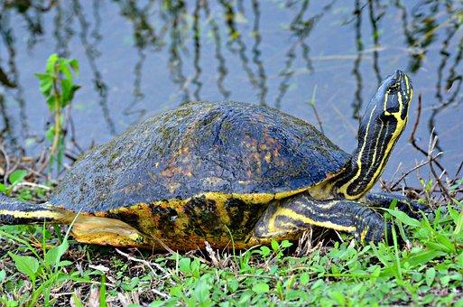 Tortoise, Everglades National Park, Florida, Turtle