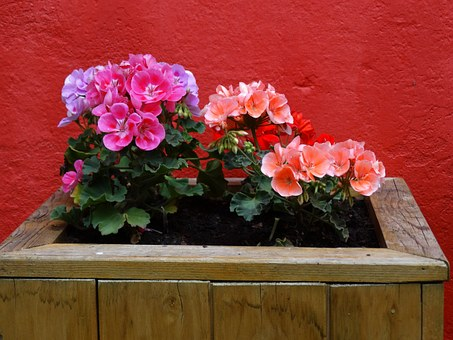 Flowers, Geraniums, Geranium, Pink, Red, Garden, Colors