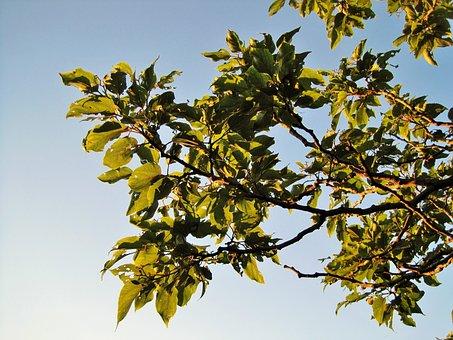Tree, Japanese Raisin, Branches, Foliage, Growth