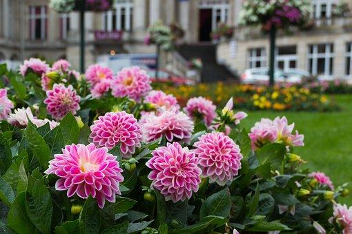 Dahlia, Flower, Plant, Garden, Perk, Dahlia Field