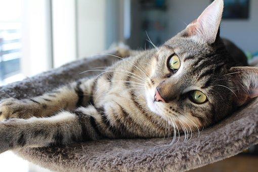 Cat, Kitten, Grey Cat, Tabby Cat, Cat Yellow Eyes
