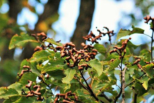 Japanese Raisin Tree, Raisin Tree, Tree, Leaves