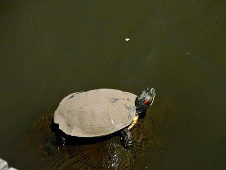 Turtle, Water, Muddy Turtle