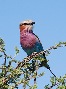 Bird, Forked Roller, Nationaltier, Botswana, Animal