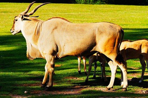 Common Eland, Antelope, Animals, Nature