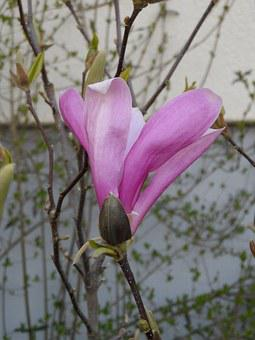 Magnolia, Blossom, Bloom, Pink, Grow, Plant, Nature