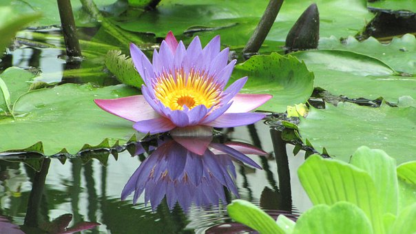 Lotus, Flower, Nymphaea Caerulea, Aquatic Plant
