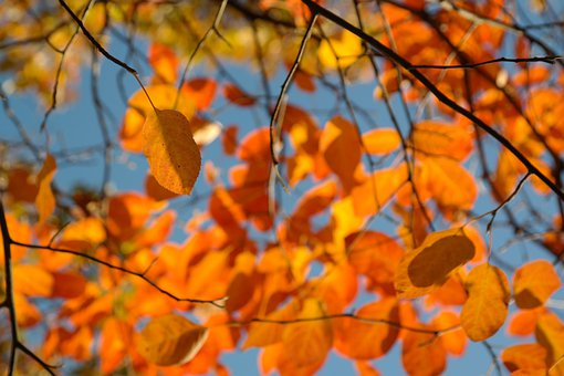 Leaves, Autumn, Orange, Amelanchier, Red, Blood Red