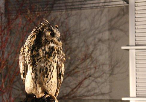 Night, Owl, Alert, Ave, Nature, Animal, Watchman