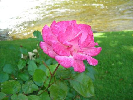 Roses, Handel, Patron System