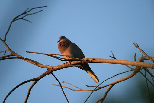 Bird, Dove, Laughing, Grey-mauve, Perching Neck, Puffed