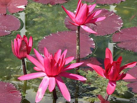 Water, Lily, Pink, Pond, Flower, Green, Acquatic