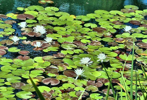 White Water Lilies, Pond, Floating, Garden Flowers