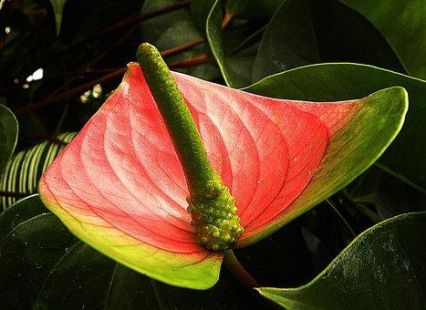 Flamingo Flower, Anthurium Andraeanum, Red, Green