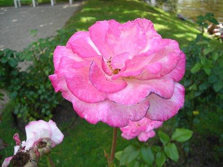 Roses, Handel, Baden Baden