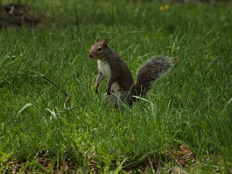 Eastern, Gray, Squirrel, Squirrels, North, America