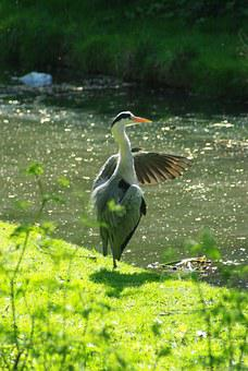 Heron, Preening, Thamesmead, Bird, Water, Fishing