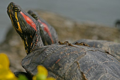 Turtle, Red-eared Slider, Water Turtle, Reptile