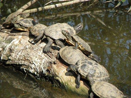 Trachemys Scripta Elegans, Turtle, Group, Sun, Strain