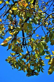 Japanese Raisin, Leaves, Tree, Branches, Twigs, Yellow