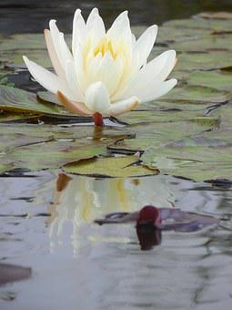 Water Lily, Plant, Water, Lily, Pond, Nature, Green