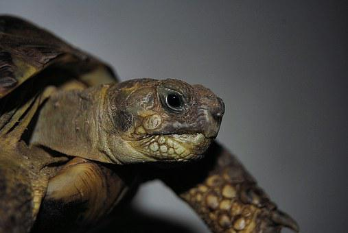 Turtle, Reptile, Water Turtle, Slowly, Animal, Armored