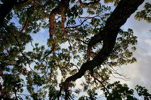 Tree, Japanese Raisin, Trunks, Branches, Weaving