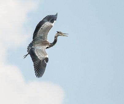 Grey Heron, Animals, Nature, Animal World, Wildlife