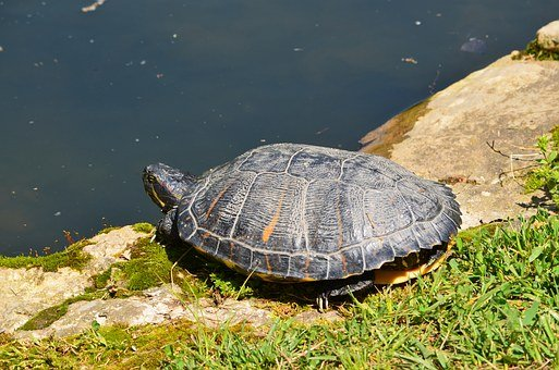 Red Eared Turtle, Reptile, Aquatic, Wildlife, Pond