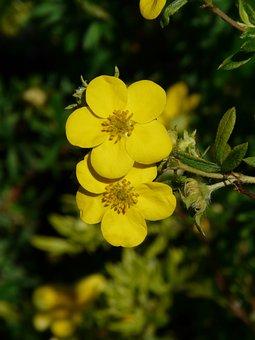 Finger Shrub, Flowers, Yellow, Bush