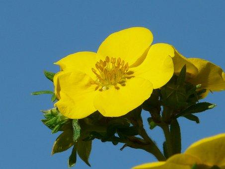 Flower, Yellow, Close Up, Macro, Finger Shrub, Bush