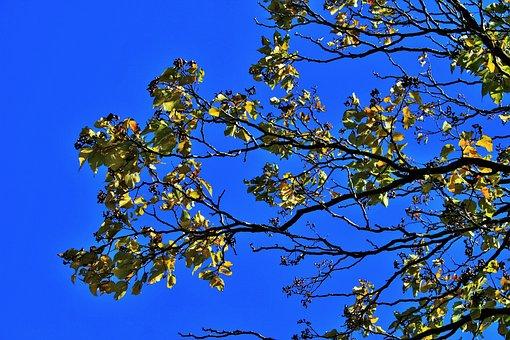 Japanese Raisin, Branch, Leaves, Tree, Yellow, Autumn