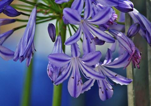 Agapanthus, Lily, Inflorescence, Ornamental Plant