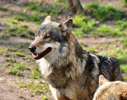 Wolf, Run, Area, Animal Portrait, Brown, Animal