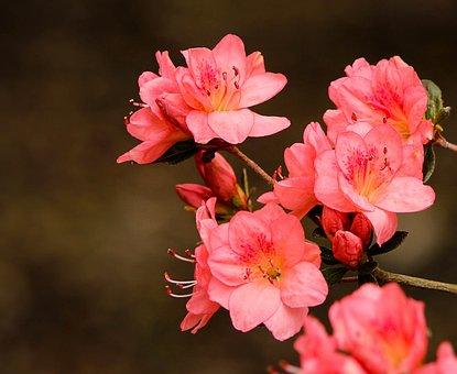 Pink Azaleas, Rhododendron Kurume, Azalea Coral Bells