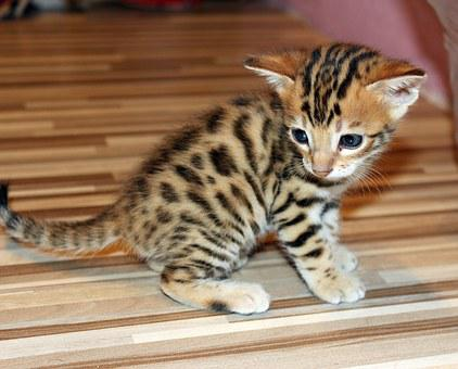 Kitten, Bengal Kitten, Pet
