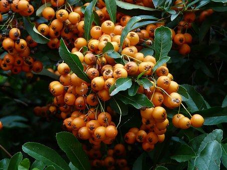 Firethorn, Fruits, Berries, Orange, Red, Bush