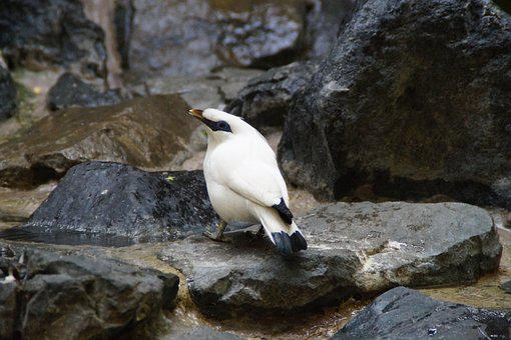 Bali Starling, Mynah, Bird, Exot, Exotic, Exotic Bird