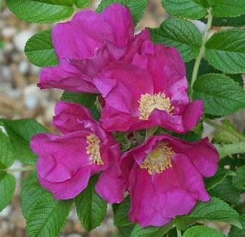 Rugosa Rose Quartet, Rugosa Rose, Rose, Flower, Blossom