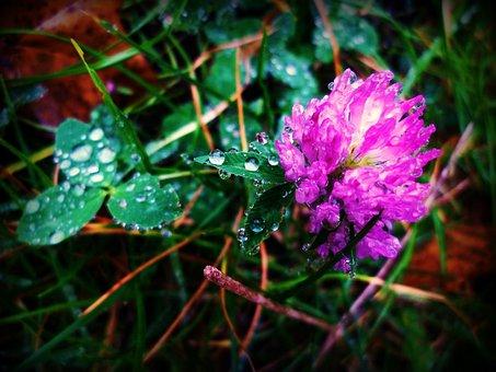 Clover, Drop, Nature, Purple, Garden, Water