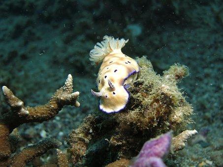 Nudibranch, Diving, Sea, Scuba, Marine, Underwater