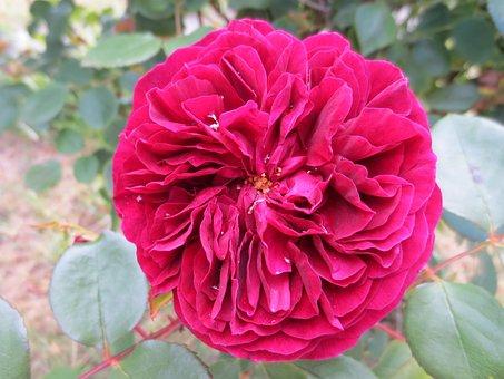 Rose, Raindrops, Flower, Wet, Blossom, Botanical